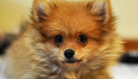 Volpino di pomerania cani e gatti su 4zampe club for Cani pomerania